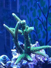 Meerwasser Aquarium Korallen Ableger Acropora