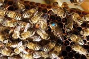 Bienenvolk Honigbienen Carnica