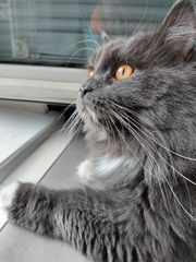 MaineCoon mix Kater