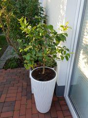 zitronenpflanze
