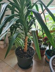 Yucca Palmen 3x über 120