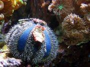 Meerwasser Globulus Seeigel 5cm