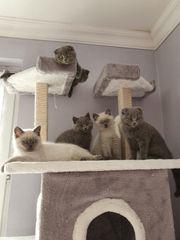 BKH und Scottish Fold Kitten