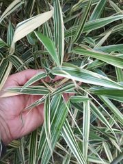 Bambuspflanzen