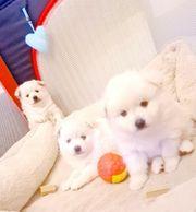 Zwergspitz Pomeranian boo teddy