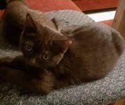 Bkh Kitten in seltenen Farben