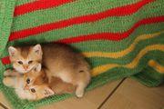 BKH Golden Shell Golden Kitten