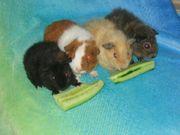 REX Meerschweinchen in diversen Farben