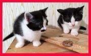 Zwei Kitten-Zwergerl sind umzugsbereit Zu