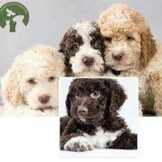 Wasserhund Tiermarkt Tiere Kaufen Quoka De