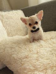 Reinrassigen Chihuahua Babys Langhaar