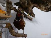 Fasan Tierpräparat Präparat Ausgestopft