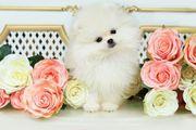 Süßes wunderschöne Pomeranian Welpen