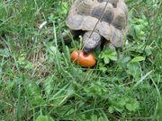 Maurische männliche Landschildkröte - 15 Jahre