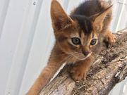 Süße Abessinier-Kätzchen mit Stammbaum zu