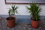 Yucca Palme mit Topf und