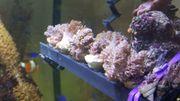Keniabäumchen Meerwasser