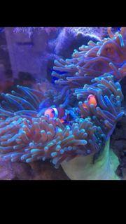 2 Amphiprion Paar ocellaris Nemo