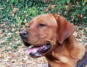 Deckrüde Labrador Foxred Ben