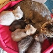 Reinrassige BKH Kitten suchen ein