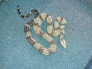 0 1 Boa constrictor imperator