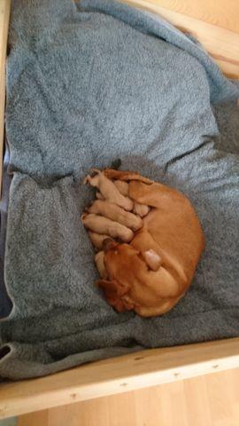Hunde - Zwergpinscher Reinrassig