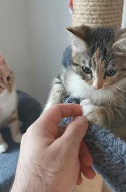 Wunderschöne BLH mix baby Katze