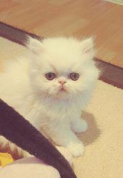 Wunderschöner weißer Perserkater Baby mit