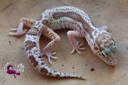 Leopardgecko 0 1 Weibchen Mack