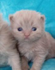 Bkh Blh kitten lilac