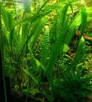 Aquariumpflanze Hammerschlag-Wasserkelch - Cryptocoryne aponogetifolia