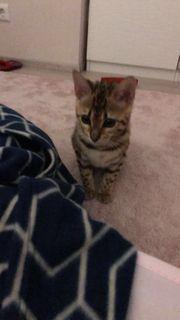 Suche Kitten junge Kätzchen
