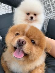 super süsse zwergspitz Pomeranian