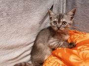 BKH Kitten-MIX