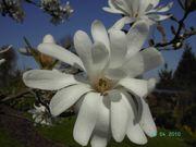 Rarität STERNMAGNOLIE Magnolia stellata 5