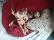 4 Sphynx-Katzen suchen ein neues