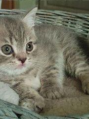 BKH Kitten Farbe Tabby