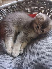 BKH Schottish Fold Kitten in