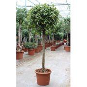 Ficus Benjamina foliole - art17235