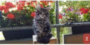 Wunderschöne Reinrassige Main Coon Kitten