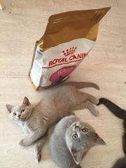 Britisch Kurzhaar Katzenbabys
