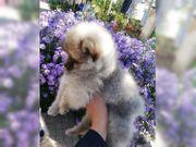 Pomeranian welpen Boo