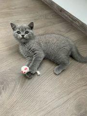 BKH Kitten eine Junge ist