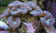 Caulastrea Connata LPS Koralle Meerwasser