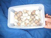 Chinesische Zwergwachteln Eier