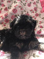 Yorkshire terrier babyy
