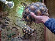 3 Spornschildkröten abzugeben