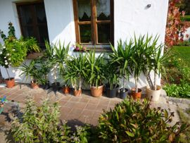 Pflanzen - Yucca-Palmen