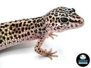 Leopardgecko Wildtyp Weibchen F2 von