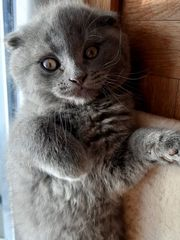 BKH Kitten Männchen